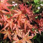 Acer palmatum 'Phoenix' - Acer palmatum 'Phoenix' - Japanse esdoorn