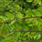 Lonicera pileata - Chinese kamperfoelie - Lonicera pileata