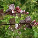 Kamperfoelie, Struikkamperfoelie - Lonicera nitida 'Red Tips'