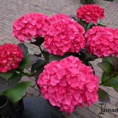 Hydrangea macrophylla BLACK DIAMONDS 'Red Angel' -
