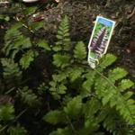 Dryopteris 'Japanese Painting' -