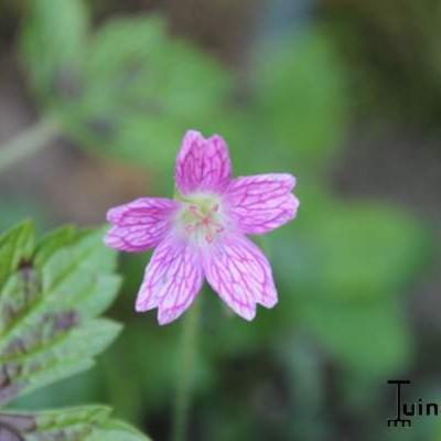 Geranium  x oxonianum -