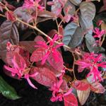 Loropetalum chinense 'Fire Dance' - Heksenstruik - Loropetalum chinense 'Fire Dance'