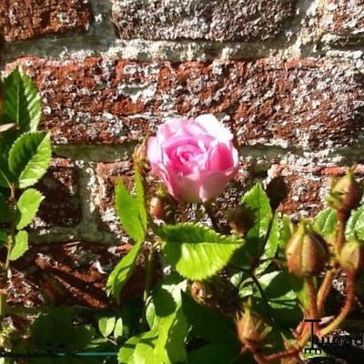 Rosa 'Super Dorothy' -