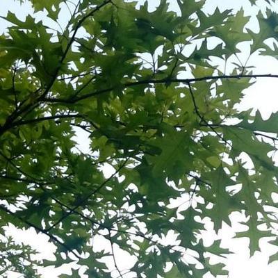 Quercus palustris -