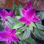 Celosia argentea - Celosia argentea - Hanekam