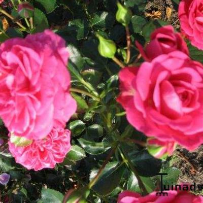 Rosa 'Topkapi Paleis' -