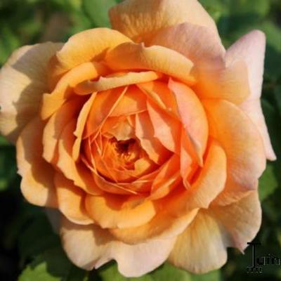 Rosa 'Grace' - Roos