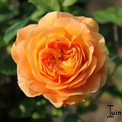 Rosa 'Crown Princess Margareta' -