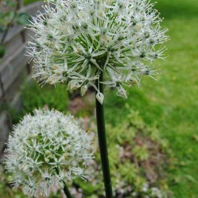 Allium 'Mount Everest' -