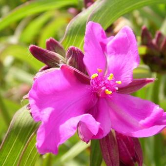 Tradescantia andersoniana 'Red Grape'