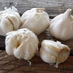 Allium sativum - Allium sativum - Knoflook