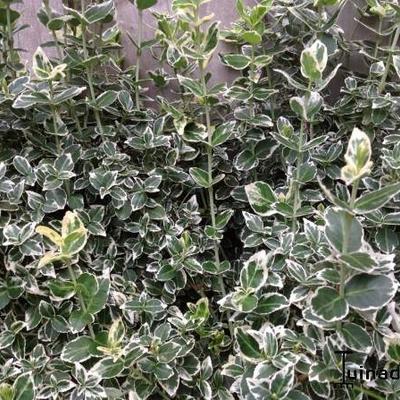 Euonymus fortunei 'Emerald Gaiety' -