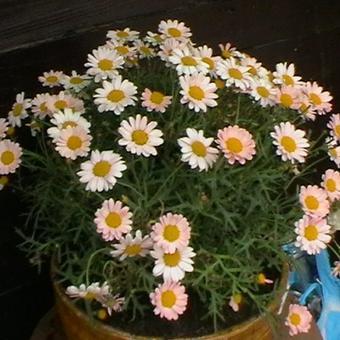 Margriet Struikmargriet Argyranthemum Frutescens Daisy Crazy Serie