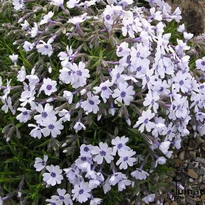 Phlox subulata 'Bavaria' -
