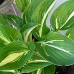 Hosta 'Clifford's Stingray' - Hartlelie/Funkia