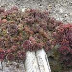 Sempervivum 'Commander Hay' - Huislook
