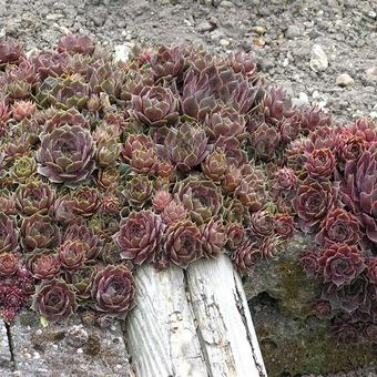 Sempervivum 'Commander Hay'