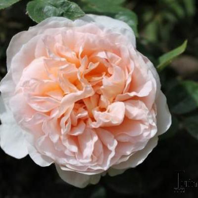Rosa 'Ambridge Rose'  -