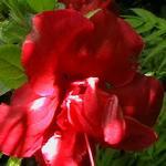 Rhododendron  'Florida' - Rhododendron  'Florida' - Azalea