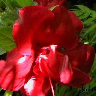 Rhododendron  'Florida' -