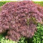Acer palmatum  dissectum 'Inaba-shidare' - Japanse esdoorn - Acer palmatum  dissectum 'Inaba-shidare'