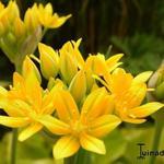Allium moly - Goudlook - Allium moly