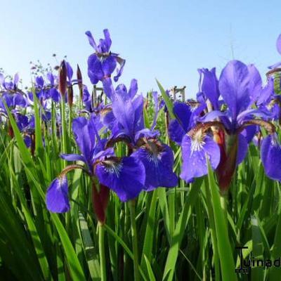 Iris sibirica - Siberische lis - Iris sibirica