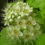 Physocarpus opulifolius 'Dart's Gold' - Sneeuwbalspirea / blaasspirea - Physocarpus opulifolius 'Dart's Gold'