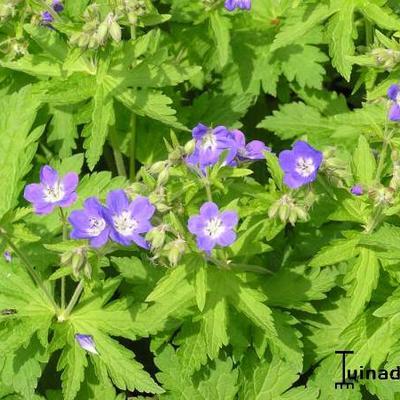 Geranium sylvaticum 'Amy Doncaster' -