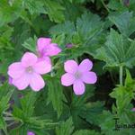 Geranium x oxonianum 'Rose Clair' - Ooievaarsbek - Geranium x oxonianum 'Rose Clair'