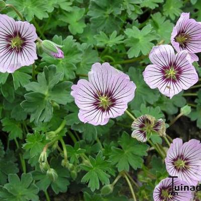 Geranium cinereum 'Rothbury Gem' -