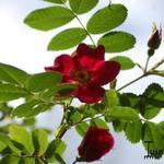 Rosa moyesii 'Geranium' - Roos - Rosa moyesii 'Geranium'