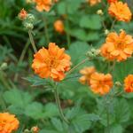 Nagelkruid - Geum 'Prinses Juliana'