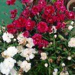 Dianthus caryophyllus - Anjer, Tuinanjer - Dianthus caryophyllus