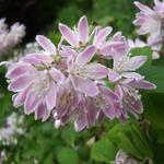 Deutzia x hybrida 'Strawberry Fields' - Bruidsbloem