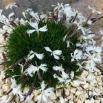 Dianthus 'Berlin Snow' - Anjer