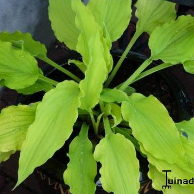 Hosta 'Marrakech' -