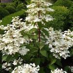 Hydrangea paniculata 'Wim's Red' - Pluimhortensia  - Hydrangea paniculata 'Wim's Red'