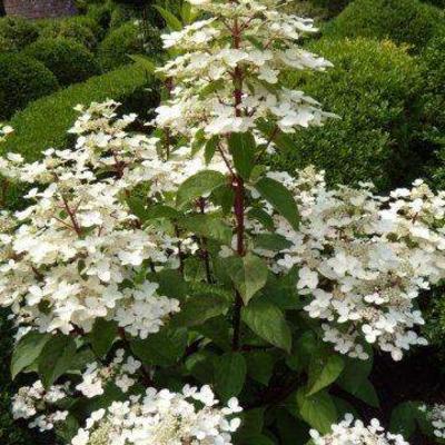 Hydrangea paniculata 'Wim's Red' -