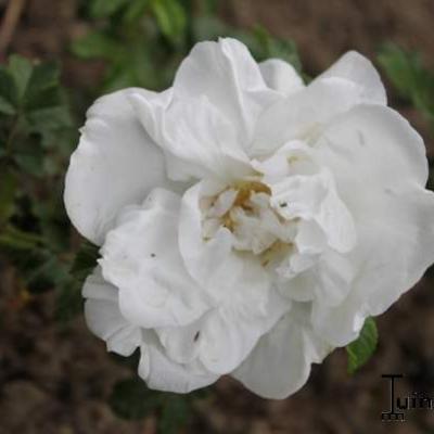 Rosa 'Blanc Double de Coubert' -