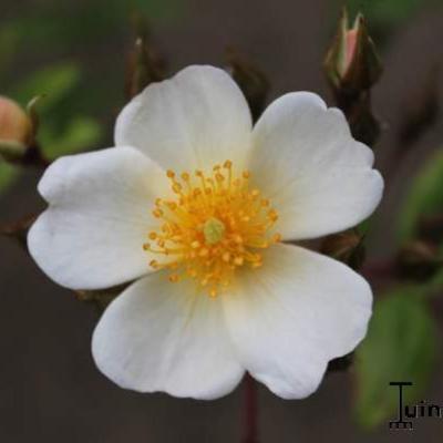 Rosa 'Pleine de Grace' -