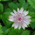 Astrantia major 'Shaggy' - Zeeuws knoopje