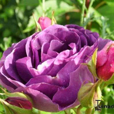 Rosa 'Minerva' -