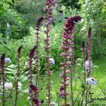 Lysimachia atropurpurea 'Beaujolais' - Lysimachia atropurpurea 'Beaujolais' - Rode wederik