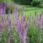Salie - Salvia nemorosa 'Amethyst'