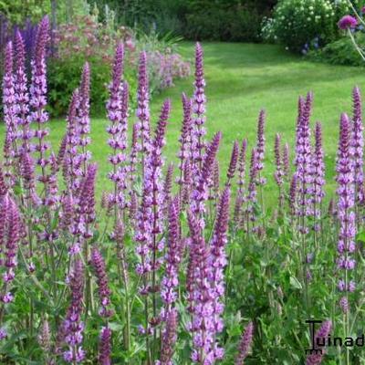 Salvia nemorosa 'Amethyst' -