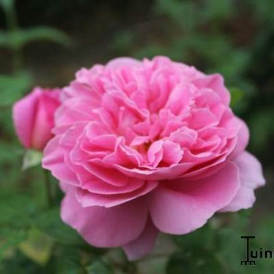 Rosa 'Mary Rose' - Roos