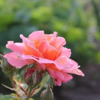 Rosa 'Marie Curie'