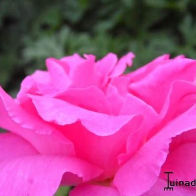 Rosa 'Zephirine Drouhin' -